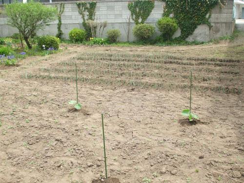 表の畑には「雪化粧」という白カボチャの苗と種を植える