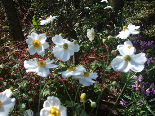 秋明菊、水引