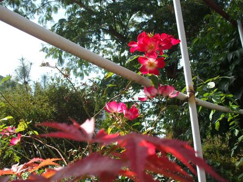 紅葉したモミジと一重のバラ