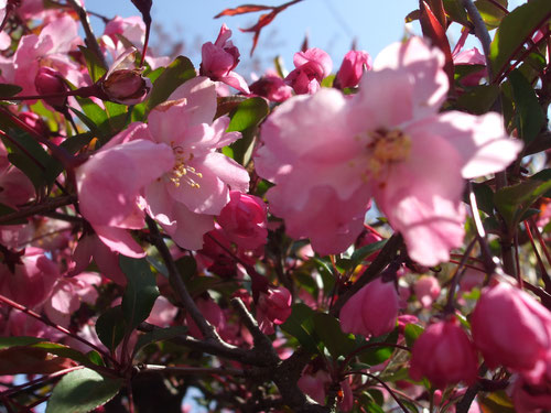 海棠(かいどう)の花、満開です