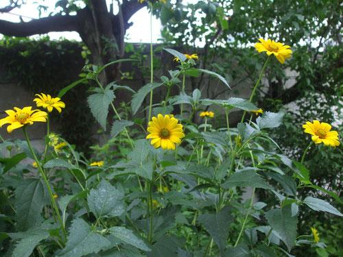 毎年出てくるキク科の花、名前分かりません