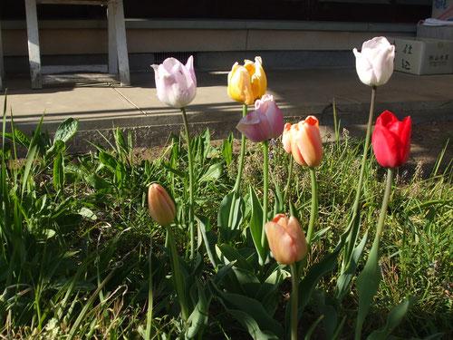 秋に植えておいたチューリップ、色合いが地味なのが多い