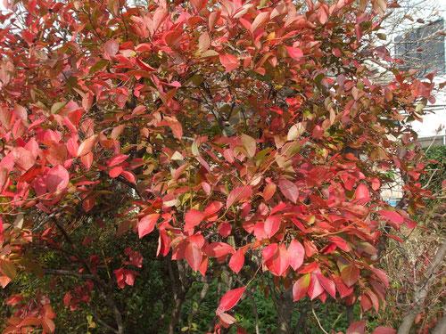 ブルーベリーの紅葉、残っている葉はこれだけです