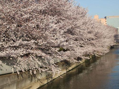 江東区・大横川の桜