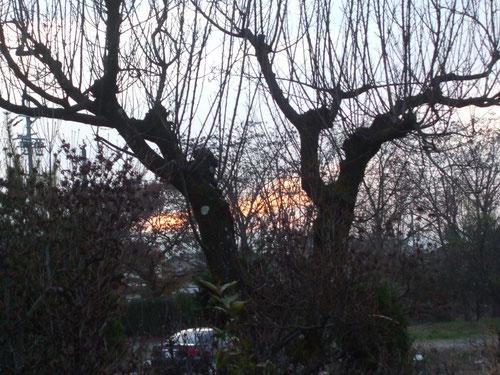 日暮れの落葉した杏の木