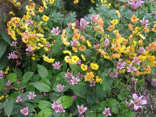 ホトトギスと小菊の群生