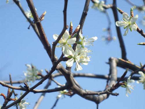 プルーンの花、地味だけど良い匂い
