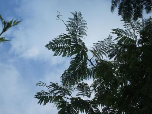 大木になった合歓の木の先っぽにトンボ!