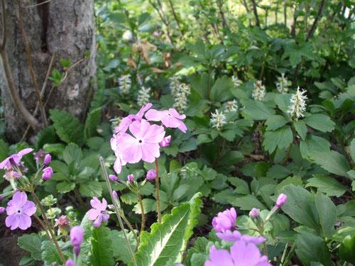 日本桜草、白い花の名前はわかりません