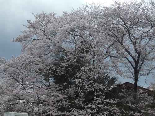 霊園に行く途中、浅川沿いの桜