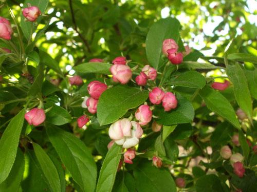 姫リンゴの花、いっぱい付いています
