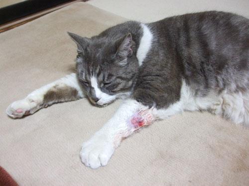 グリの怪我、病院から戻ってきて疲れて寝ています