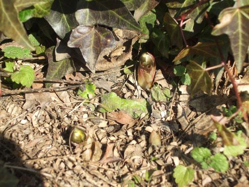 フクジュソウの芽、やっと出てる、2センチくらい