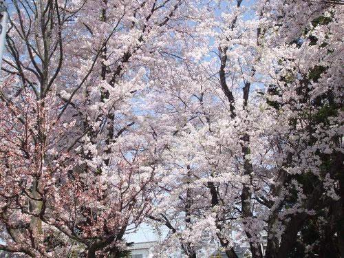 北中込の駅の桜、左側は梅、佐久では同時に咲きます