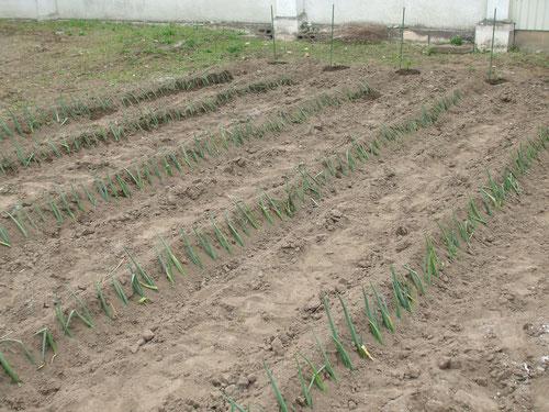 ネギ苗5列、青紫蘇の苗も植える
