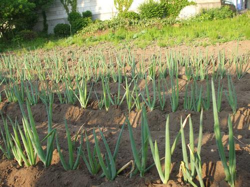 ネギの土寄せ、向こうの雑草取りはこれから