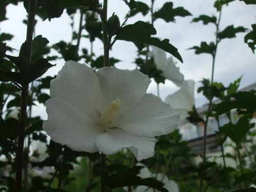 垣根のムクゲの花