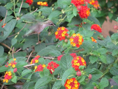 rencontre surpenante avec un colibris