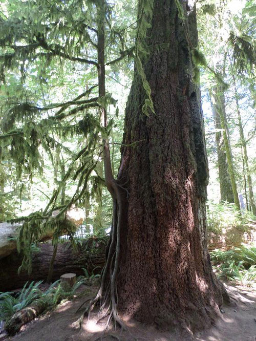 Cathedral Grove Image