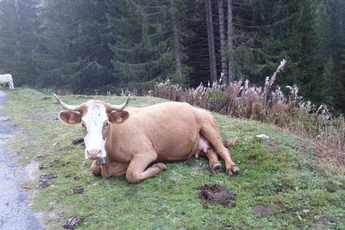 Première rencontre avec des vaches sur la route menant au santuaire