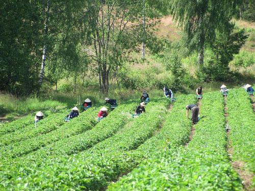 Ce n'est pas une rizière au Vietnam mais un champ de fraises en Norvège !