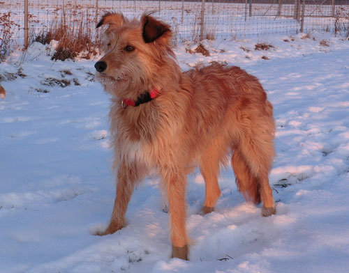 Trotz der Zotteln ist sie ein schöner Hund geworden - hier im Sonnenuntergang im Februar 2012