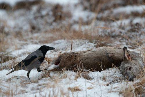 Lockjagd auf Krähen im Winter durch Füttern und Kirren