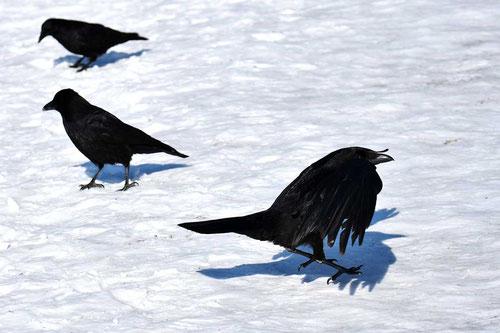 Lockjagd auf Krähen im Winter ist extrem wichtig, weil sowohl die Altkrähen, wie auch die Junggesellentrupps territorial werden