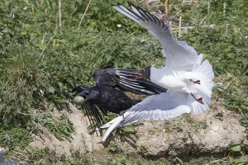 Warum werden Krähen bejagt? Schaden in der Landwirtschaft und beim Niederwild