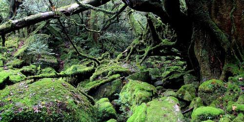 縄文杉だけではなく、白谷雲水峡も巡る、贅沢なプランです!夏休みの思い出作りに♪