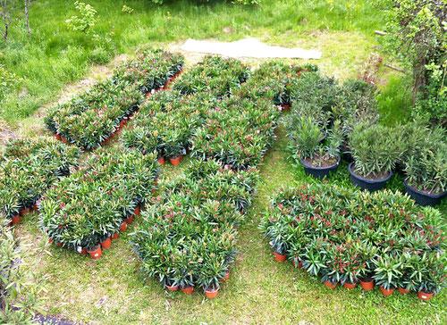 500 Oleander für das OLEANDERDORF RAX. 500 Oleander sind eine ganze Menge.