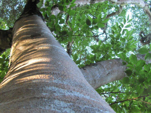 光の木 ホワイトスティンクウッド