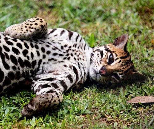 El ocelote (Leopardus pardalis) es un mamífero carnívoro de la familia Felidae.