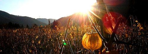 秋のほおずき畑の一コマ