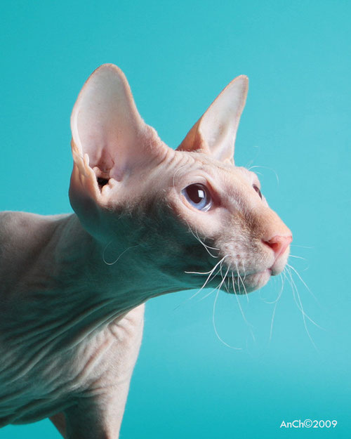 Import Alicante, Spain | Cattery Anya's Peterbald |