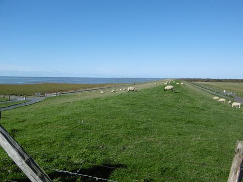 Die Schafe am Nordseedeich
