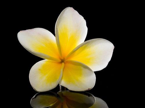 Il fiore del Frangipane (Photo by Josch13)