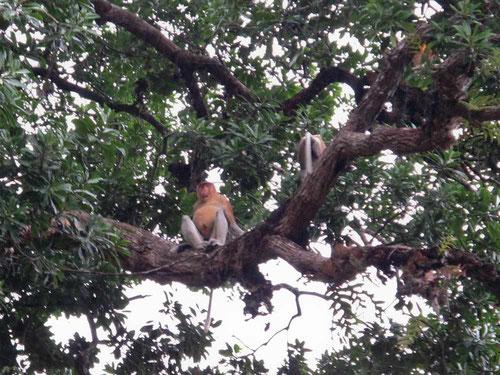 Scimmia nasica appollaiata su un albero, sul fiume Kinabatangan in Borneo (Photo by Gabriele Ferrando)