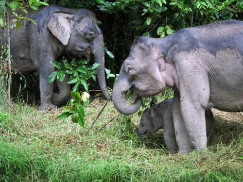 Elefanti Pigmei sulle sponde del fiume Kinabatangan in Borneo