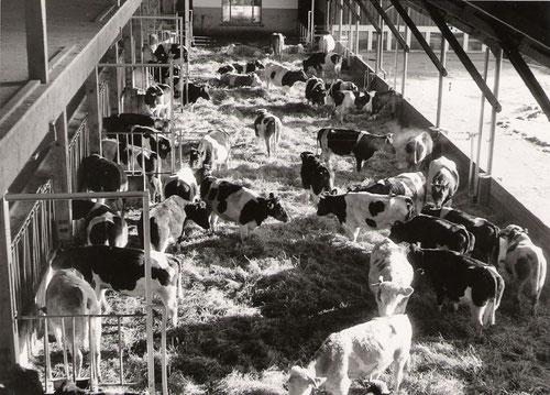 In den 1950er Jahren als Offenstall konzipierter Milchviehstall