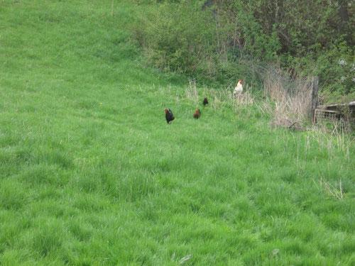 Großzügige Weideflächen garantieren immer frisches Grünfutter!