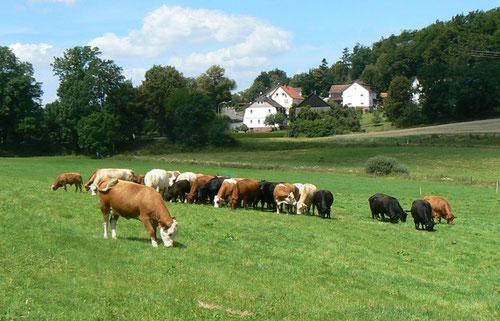 Mutterkühe der Rassen Deutsch Angus (DA; einfarbig schwarz oder rotbraun) und Fleckvieh-Fleisch (FLF; weißer Kopf)