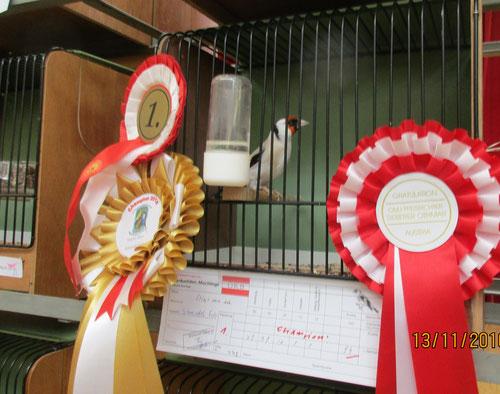 Champion Cardueliden Stiegl. maj, achat 94 Pkt. von ZK Schmiedel Fritz