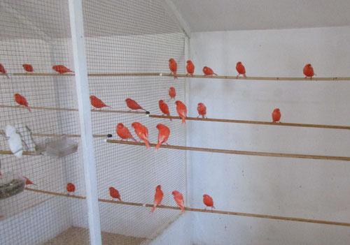 Voliere mit Rotvögel
