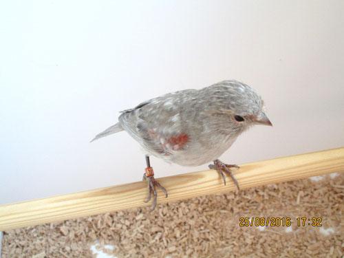 Grauflügel rot mosaik T1 (Weibchen)