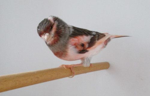 Stafford consort rot B, Weibchen