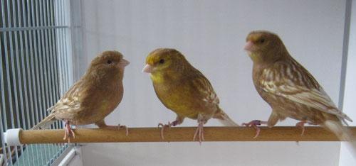 Phaeo gelb schimmel
