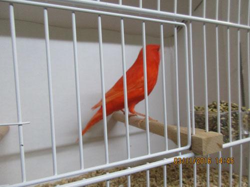Schöner Rot A Vogel