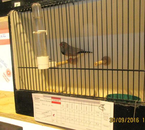 Siegervogel Zebrafink gr. hf. 93 Pkt.
