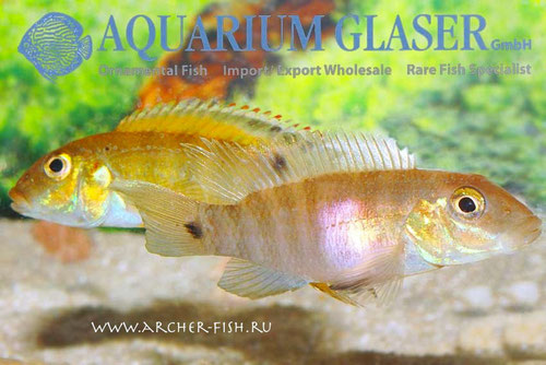 560454 Pelvicachromis signatus, Пара